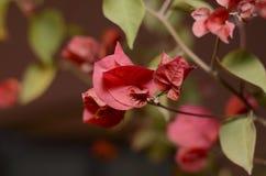 Lesser bougainvillea Bougainvillea glabra, kwiaty w ogródzie, miękka ostrość piękny kwiat tło Francisco bay bridge ca nocy razem  Zdjęcia Royalty Free