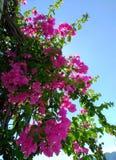 Lesser bougainvilleabougainvilleaglabra, bougainvillea blommar, busken Arkivfoto