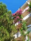 Lesser bougainvilleabougainvilleaglabra, bougainvillea blommar, busken Arkivbilder