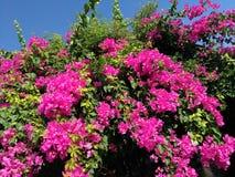Lesser bougainvilleabougainvilleaglabra, bougainvillea blommar, busken Royaltyfria Foton
