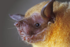 The lesser bulldog bat (Noctilio albiventris). Royalty Free Stock Image