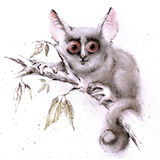 Lesser bush-baby Stock Photography