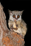 Lesser Bushbaby. Nocturnal Lesser Bushbaby (Galago moholi) with insect prey, South Africa Royalty Free Stock Images