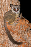 Lesser Bushbaby. Nocturnal Lesser Bushbaby (Galago moholi) sitting in a tree, South Africa Stock Photo