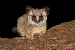 Lesser Bushbaby. Portrait of the nocturnal Lesser Bushbaby (Galago moholi), South Africa Royalty Free Stock Photos