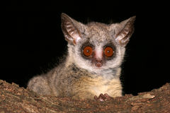 Lesser Bushbaby royalty free stock photo