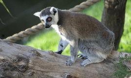 Lesser bushbaby. (Galago moholi) sitting in a tree, South Africa Stock Photos