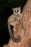 Lesser Bushbaby. Nocturnal Lesser Bushbaby (Galago moholi) sitting in a tree, South Africa Stock Photos
