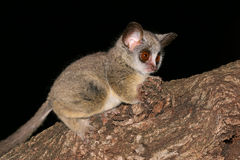 Lesser Bushbaby. Nocturnal Lesser Bushbaby (Galago moholi) sitting in a tree, South Africa Stock Image