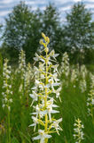 Lesser Butterfly Orchid Royalty Free Stock Images