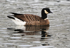 Lesser Canada Goose Lizenzfreie Stockbilder