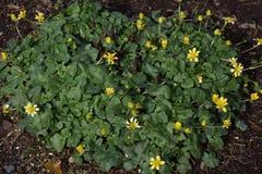 Lesser Celandine stock afbeeldingen