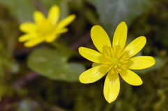 Lesser Celandine Royalty Free Stock Photos