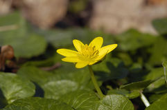 Lesser Celandine Royalty Free Stock Photo