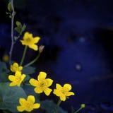 Lesser Celandine Royalty Free Stock Image