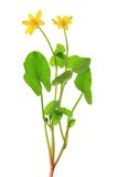 Lesser celandine Stock Photos
