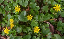 Lesser Celandine in de lente royalty-vrije stock foto's