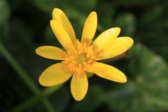 Lesser Celandine flower Stock Photos