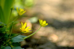 Lesser Celandine flower. Lesser Celandine (Ranunculus ficaria) flowers in spring blooming Royalty Free Stock Photography