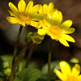 Lesser Celandine flower. Lesser Celandine (Ranunculus ficaria) flowers in spring blooming Stock Photo