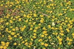 Lesser Celandine flowers Royalty Free Stock Photography