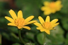 Lesser Celandine flowers Stock Photos