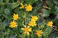 Lesser Celandine Flowers Royalty Free Stock Image