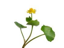 Lesser celandine (Ranunculus ficaria) Stock Photography