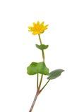 Lesser celandine (Ranunculus ficaria) Royalty Free Stock Image