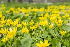Lesser celandine (Ranunculus ficaria, Ficaria grandiflora Robert, Ficaria verna Huds.) Royalty Free Stock Photo