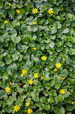 Lesser celandine Royalty Free Stock Photography