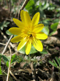 Lesser celandine (Ranunculus ficaria) Stock Photos