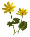 Lesser Celandine, Ranunculus ficaria Stock Images