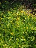 Lesser celandine (Ranunculus ficaria)  wild flower Royalty Free Stock Images