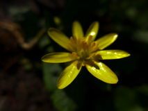 Lesser Celandine. (Ranunculus Ficaria) - yellow flower, also a medicinat plant Royalty Free Stock Images