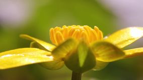 Lesser celandine stock video footage