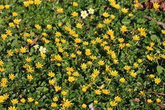 Lesser Celandines Royalty Free Stock Photography