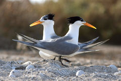 Lesser Crested Tern. Two of Lesser Crested Tern in kubber island in kuwait Royalty Free Stock Photography