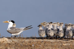 Lesser Crested Tern. The  Lesser Crested Tern in kubber island in kuwait in The breeding season and migration Stock Photos