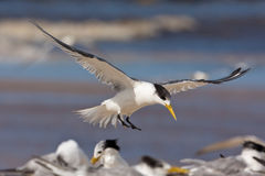 Free Lesser Crested Tern Stock Images - 19623004
