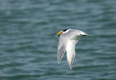 Lesser crested tern with a fish Stock Photography