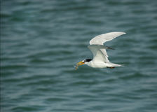 Lesser crested tern flying with a fish Stock Photography