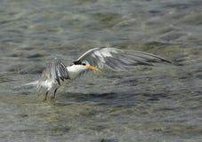 Lesser Crested Tern soulevant ses ailes au soulèvement Photographie stock libre de droits