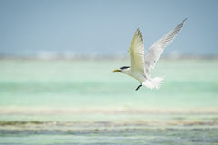 Lesser crested tern Stock Photo