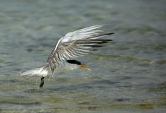 Lesser crested tern uplifting in air to fly. Terns are seabirds in the family Sternidae Stock Photo