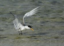 Lesser Crested Tern uplifting from water. Terns are seabirds in the family Sternidae Stock Image