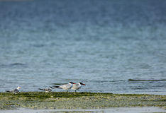 Lesser crested terns and caspian terns Royalty Free Stock Photos