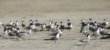 Lesser crested terns in the coastal sand Stock Photo