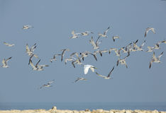 Lesser crested terns and a egret flying Stock Image
