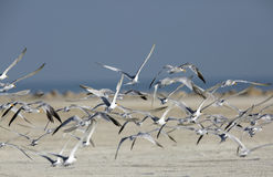 Lesser crested terns flying Royalty Free Stock Images